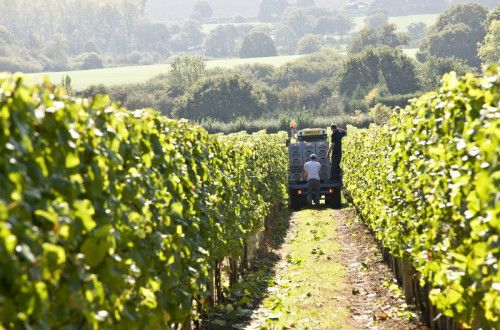 a small truck containing harvested grapes driving down a path in the vineyard
